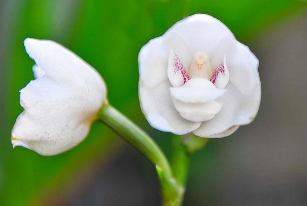 24. Орхидея «Голубь» или «Святой дух»
