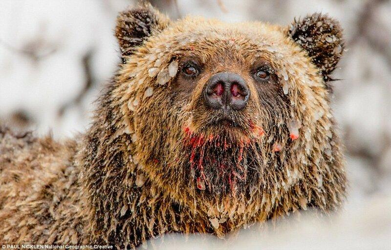 По мнению биолога Пола Никлена, репутация кровожадных хищников, в любую минуту готовых разорвать человека, досталась медведям незаслуженно.
