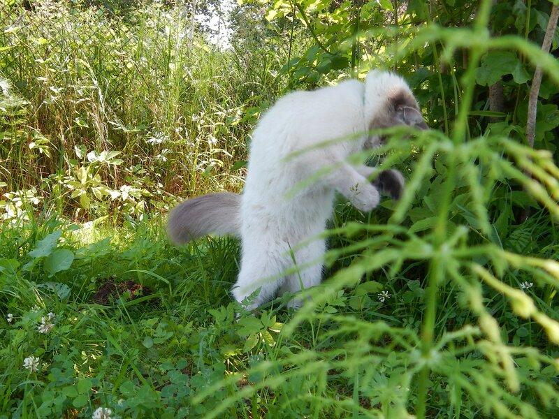 Йети - кот