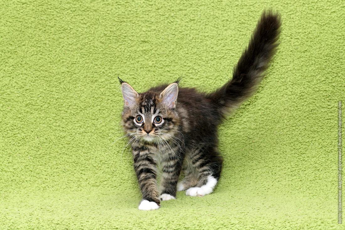 котенок Мейн-кун продается в Москве