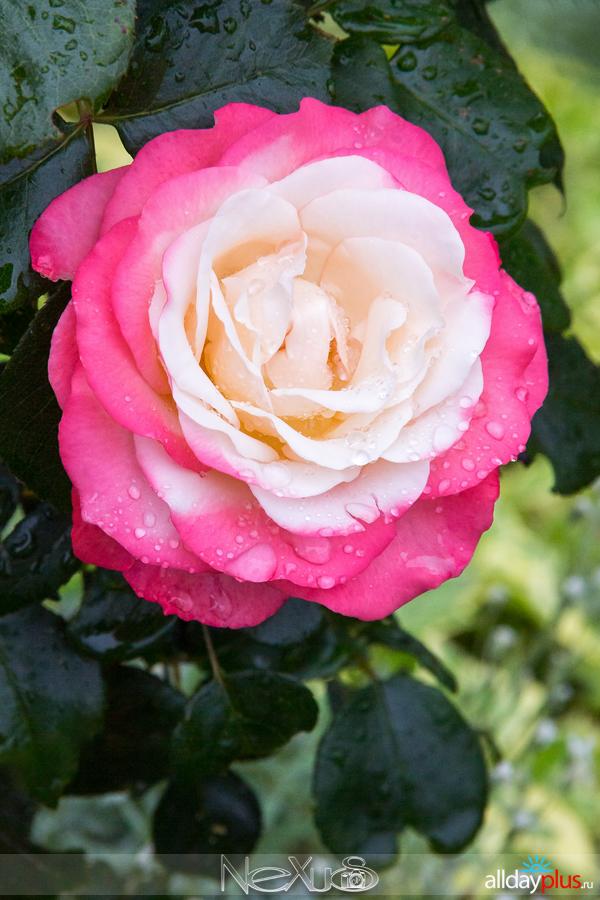 Я люблю все цветыb50, выпуск 186 | Роза - «Королева цветов».