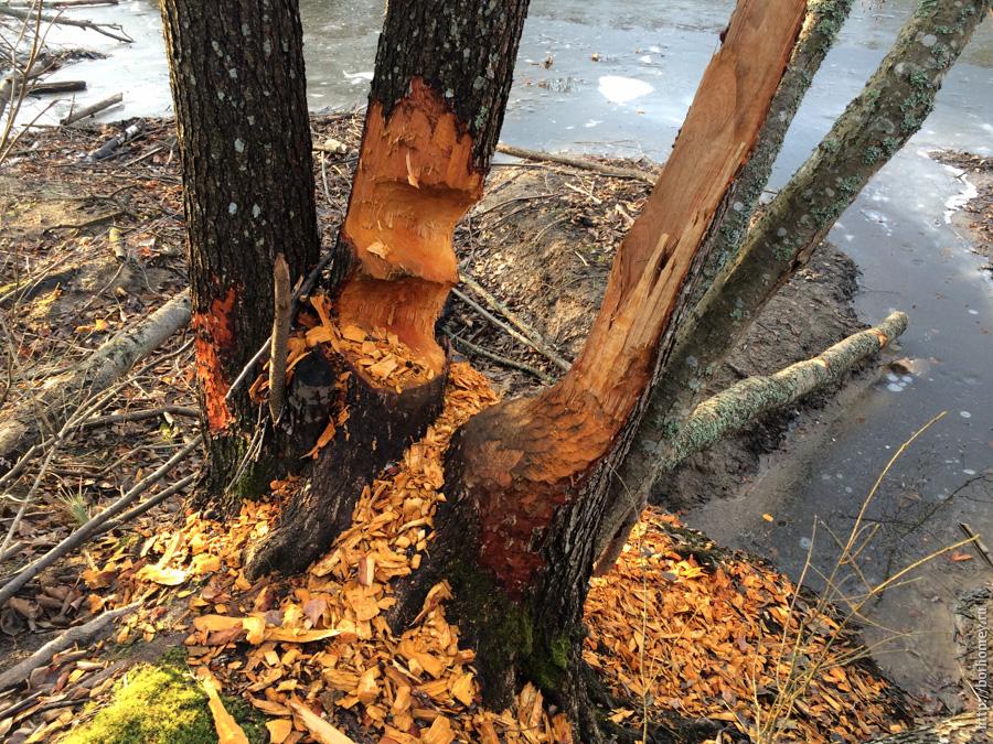 следы бобров на деревьях