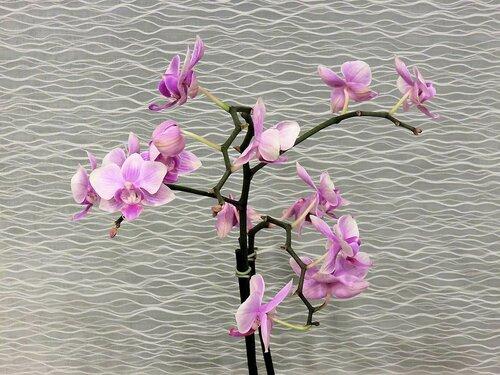 SX700. Орхидеи на фоне шторы