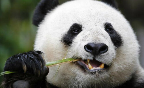 панда (2).jpg
