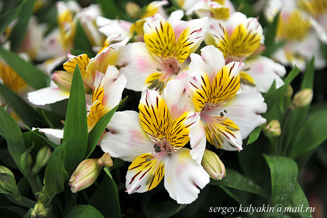 Alstroemeria Inca Smile (1).JPG