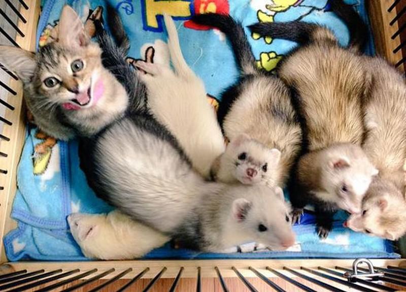 Котенок, усыновленный хорьками, думает, что он тоже хорек (12 фото)