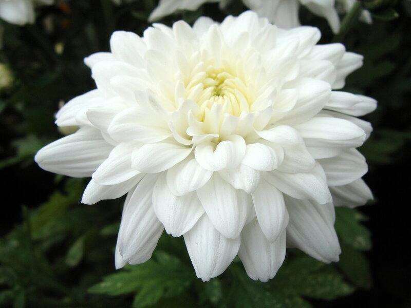 Хризантема сродни чуду