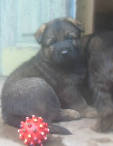 Родились щенки от Charly v. Rio Negro и Lola iz Peschanki 0_e91fd_5f40ec7a_L