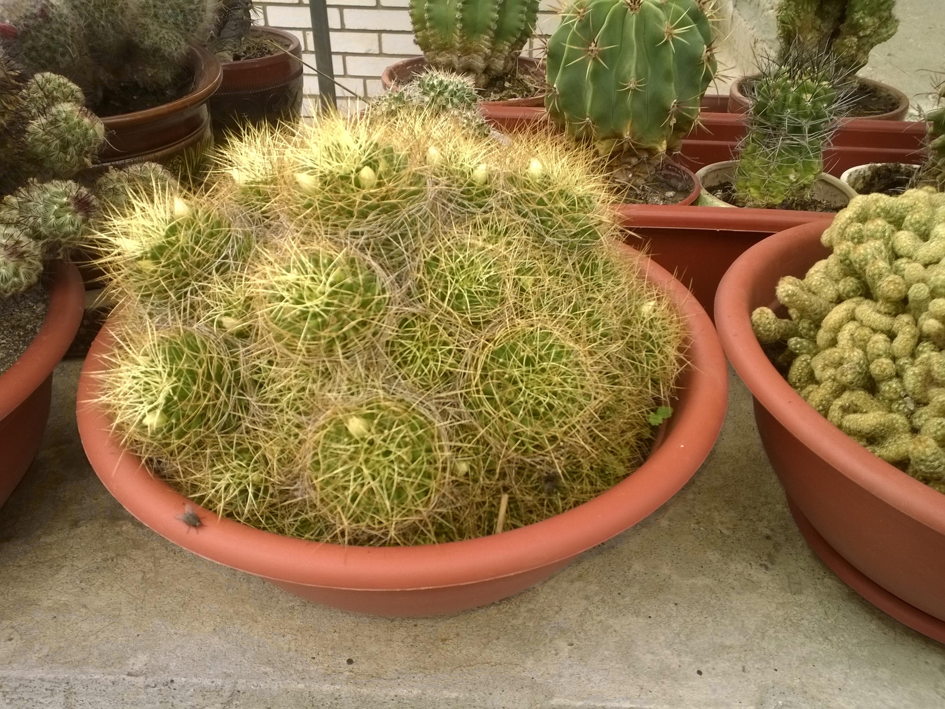 Ларисины кактусы (14).jpg