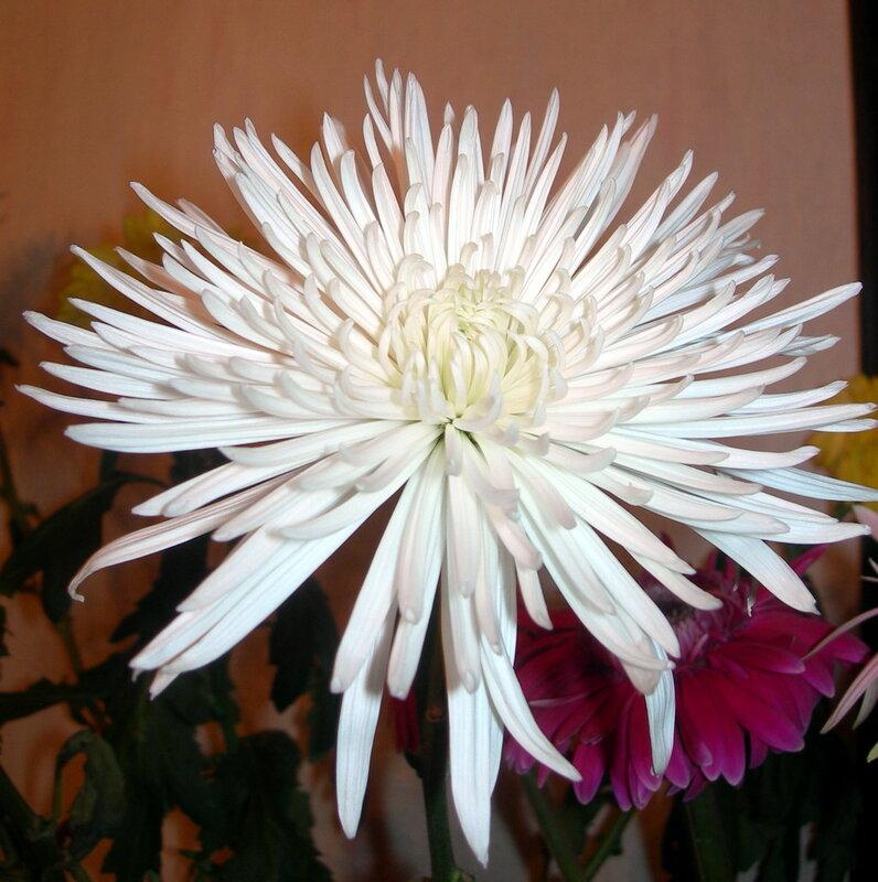 Фотография : Белая, игольчатая хризантема, фотограф Апарышев, день рождения, поздравление, цветок, цветы, юбилей, фотография, фото, flows, фотки.