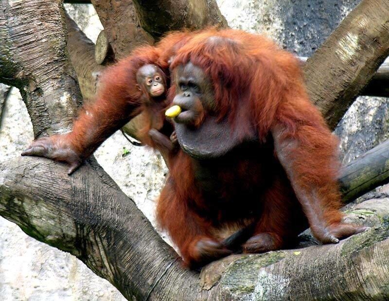 Орангутан 10
