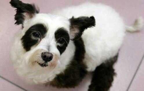 Собака-панда завоевывает мир