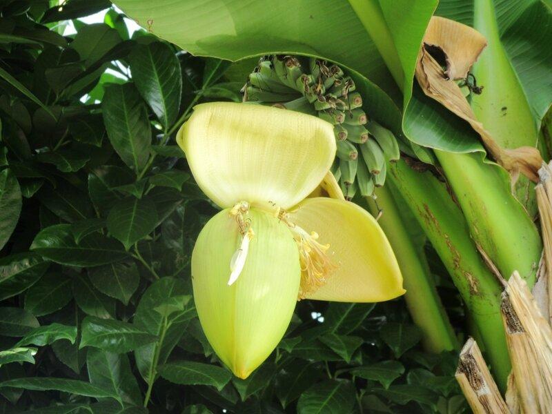 banana_0278.jpg