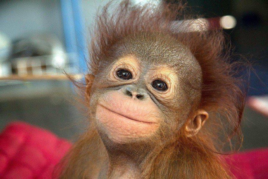 Биологи впервый раз заразили вирусом Зика беременных обезьян