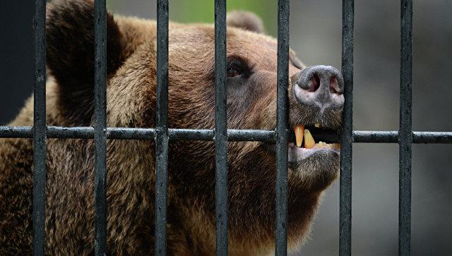 ВПольше медведица откопала снаряд времен 2-ой мировой