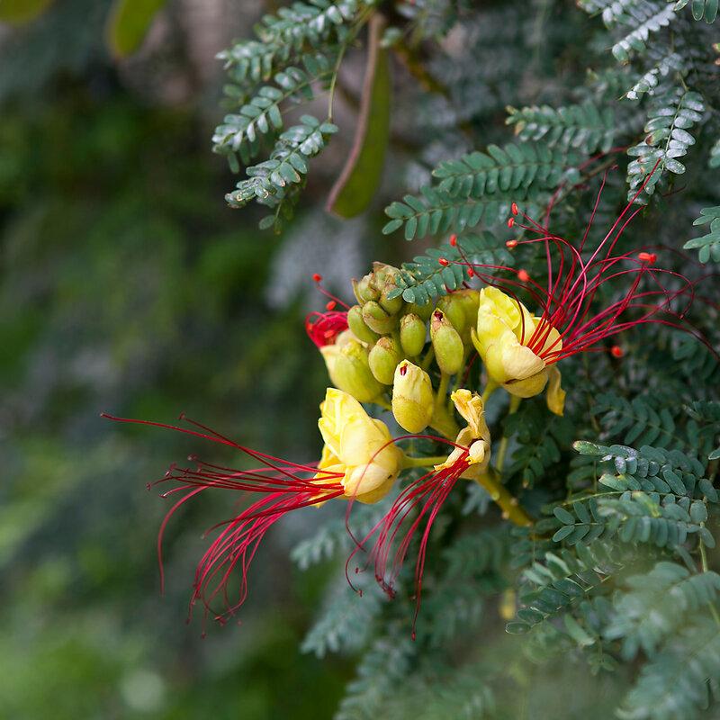 Barbados Pride , peacock Flower ( Caesalpinia pulcherrima (L.) Sw.)