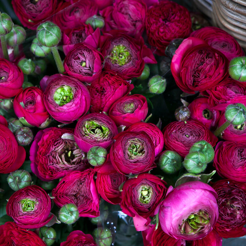 the bordeaux ranunculus background