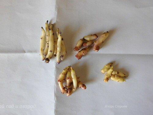 Белые ростки картофеля