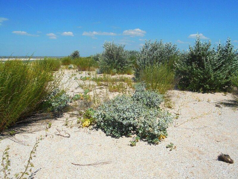 Жизнь растительная, на песках ... DSCN6829.JPG