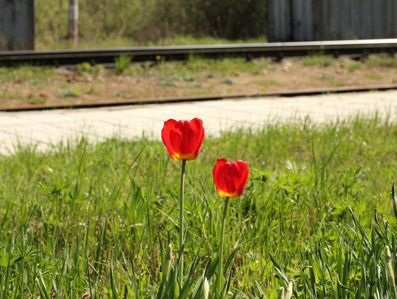 Тюльпан на станции Рождествено