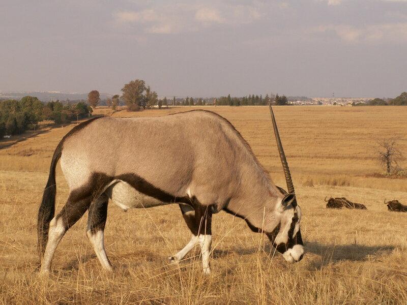 ZЮАР, Йоханнесбург, Львиный парк