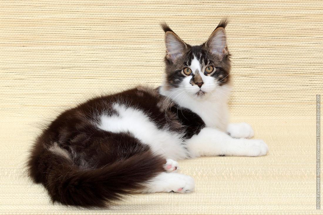 продам в Москве котенок Мейн-кун из питомника