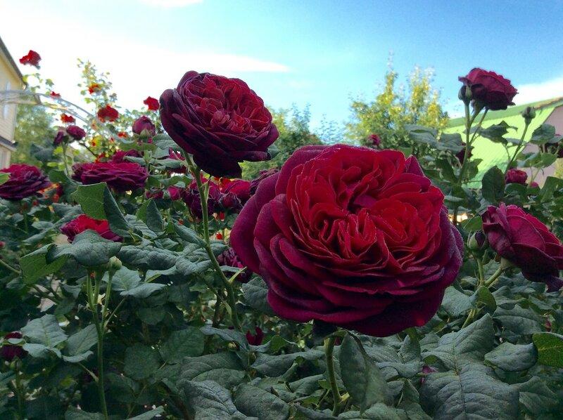 Сад Прекрасных Роз!