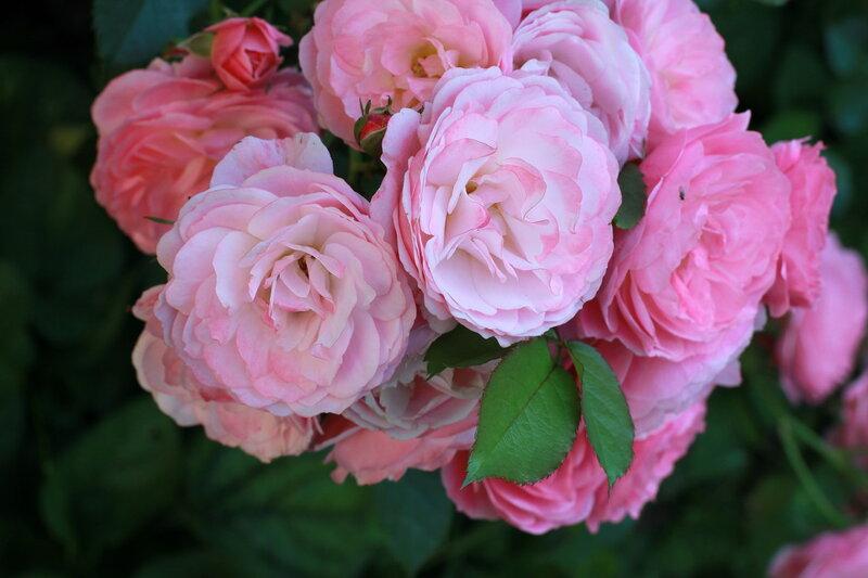Сад Прекрасных Роз! Walferdange