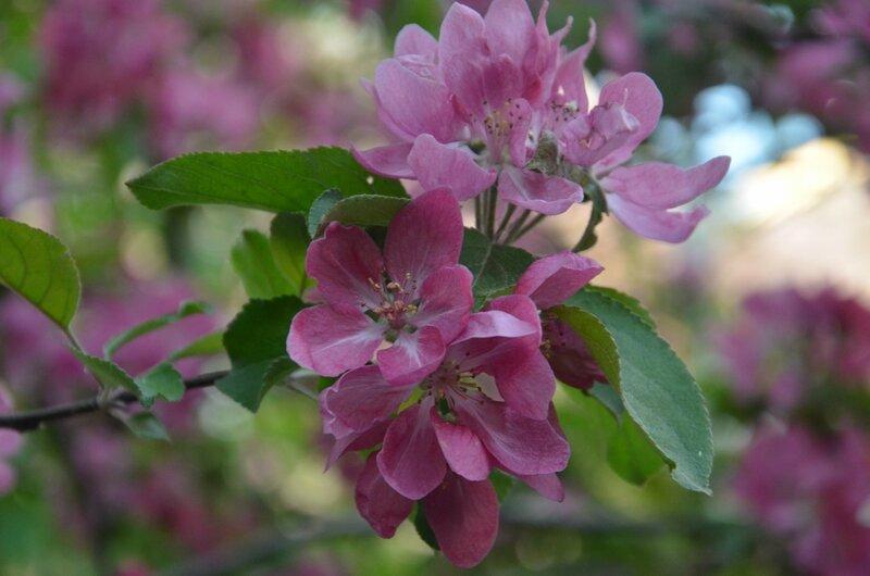 Когда яблони расцветут...