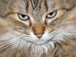 Пикси-Боб Кошка (Pixie-bob cat)