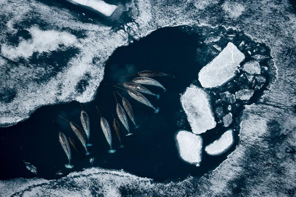 10. Морской леопард на охоте.