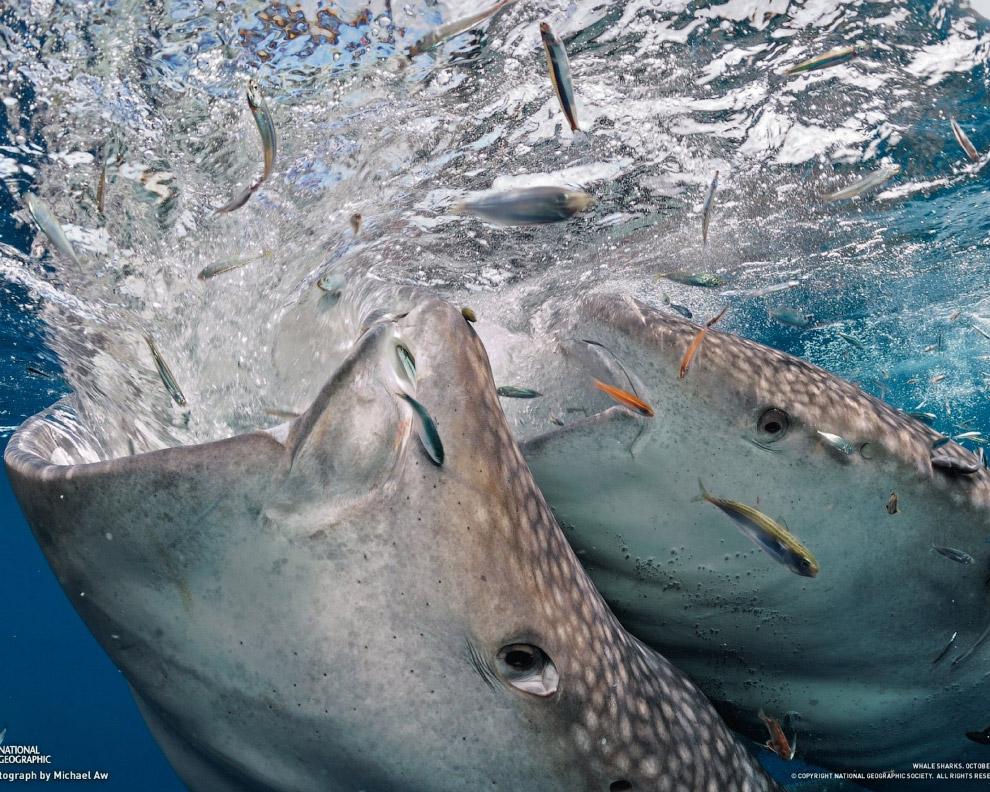 Китовые акулы постоянно мигрируют вслед за планктоном и, как правило, держатся близко к поверхн