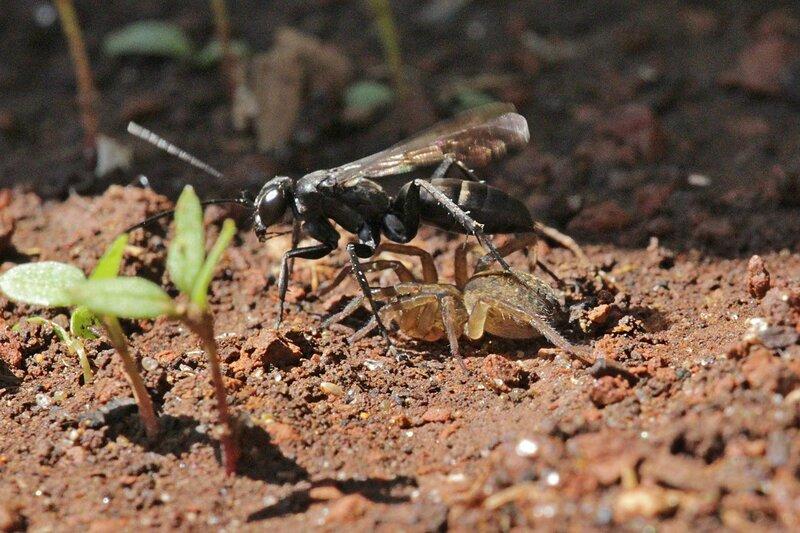 Дорожная оса-помпилида (Pompilidae) тащит свою добычу - парализованного паука-волка (Lycosidae), чтобы спрятать в нору, где отложит на него яйца, из которых вылупятся личинки, которые будут есть эту «живую консерву»