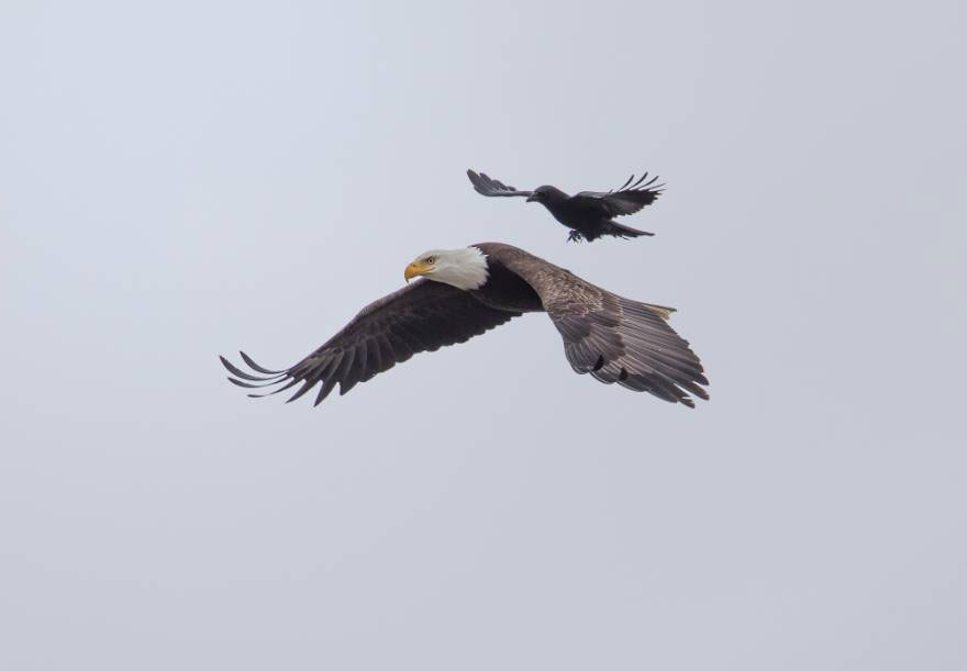 Free Ride: A Crow Catches a Lift on the Back of a Bald Eagle