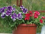 петуния Petunia Bavaria Bell colour bells и Tumbelina Cherry Ripple