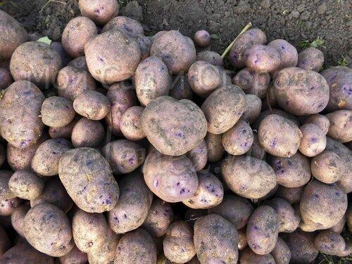 Урожай картофеля 2016. Сорт Фиолетик.