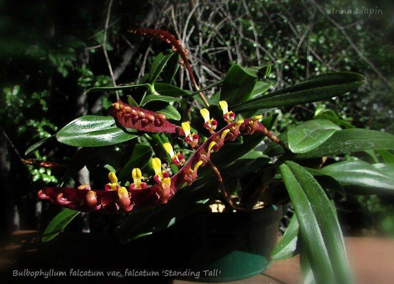 "Bulbophyllum falcatum var. falcatum ""Standing Tall"""