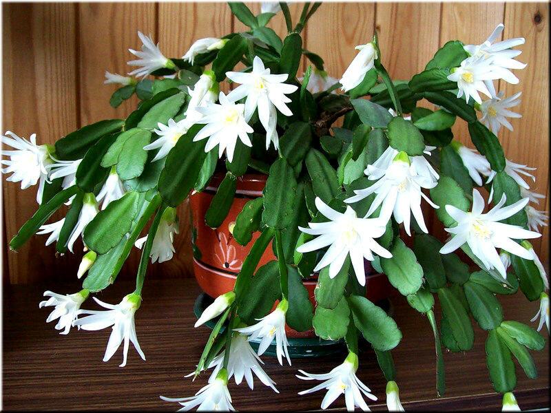Дом цветок цветет белыми