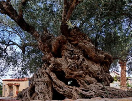 легенды об оливе