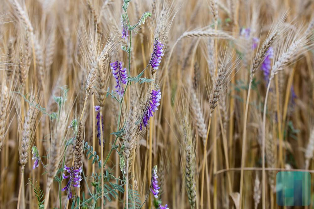 В 5-ти районах Пензенской области намолочено свыше 100 000 тонн зерна