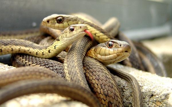 В Австралии обитают 140 наземных и 32 морских вида змей. Также в этой стране можно встретить 21 из 2