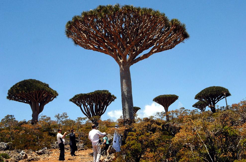 Бутылочные деревья и дерево-ладан. Длина острова — примерно 133 км, ширина — до 42 км. (Фото Ro