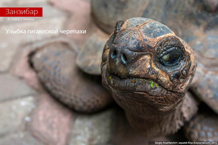 Улыбка гигантской черепахи (17 фото)