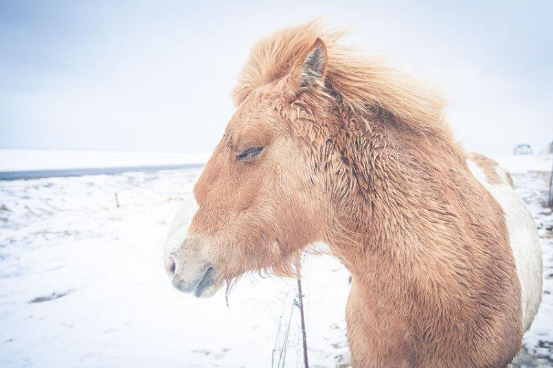 1. Фотограф особенно любил фотографировать лошадей. Это разбавляло его снимки природы Исландии.
