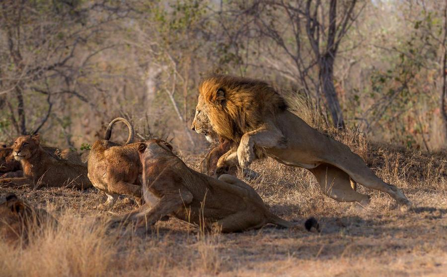 5. Лев показывает львицам, кто в прайде хозяин.