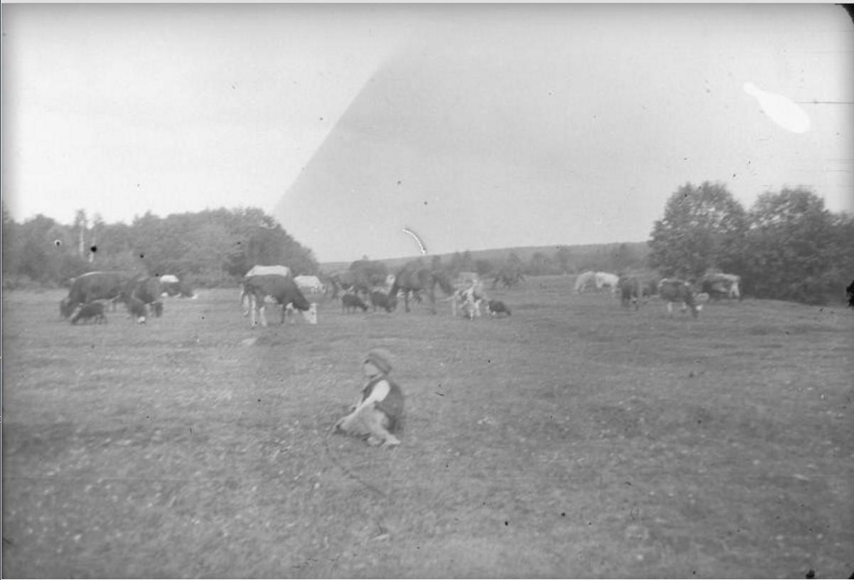 Пастушок и стадо коров на поляне