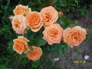 Розы, розы, розы...