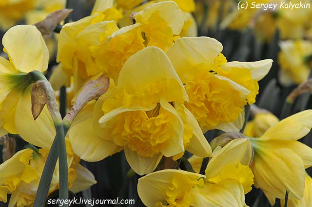 Narcissus Yellow Printal.JPG