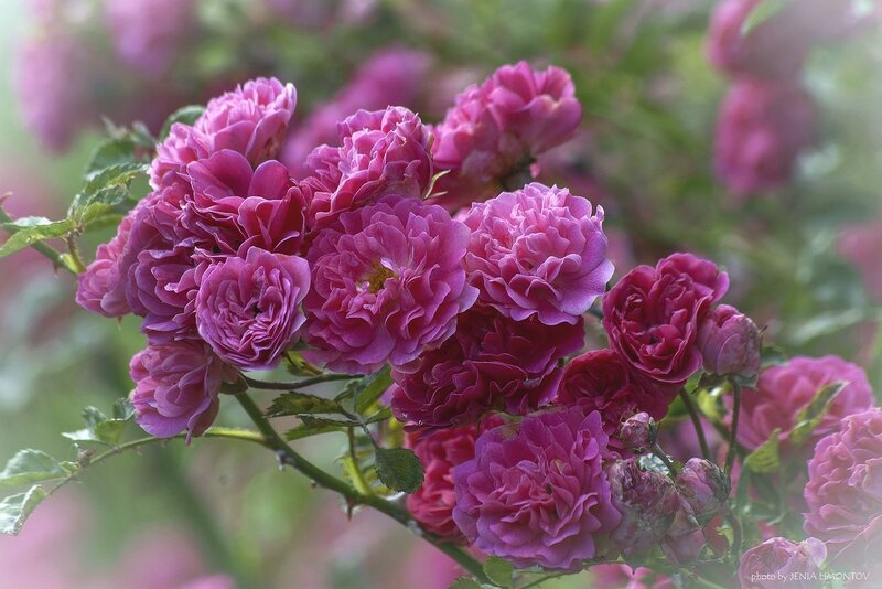 Роза вьющаяся (розовая)