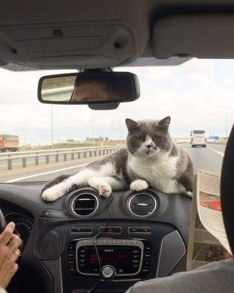 Кот в машине.